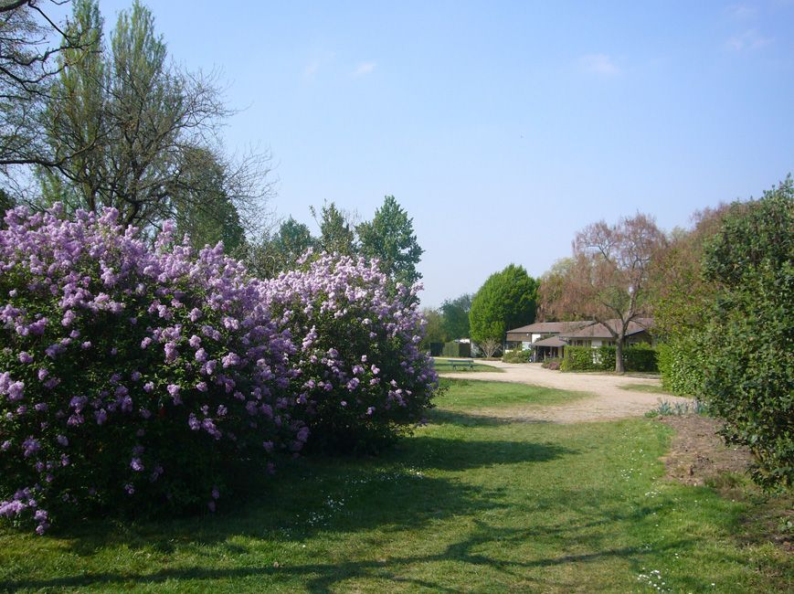 Lilas - Quand tailler les lilas ...